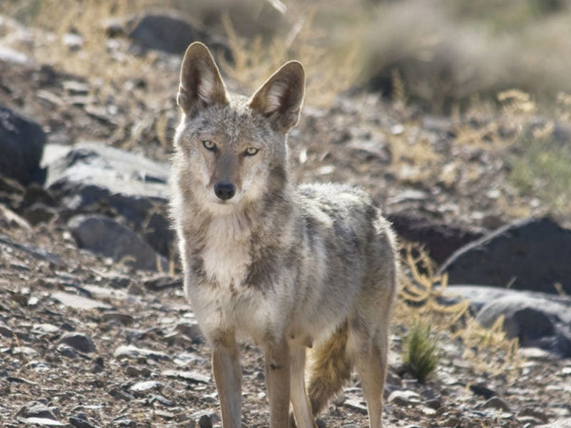 Bill banning coyote tournaments moves ahead